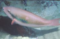 Whitespot Parrotfish at Steve's Bommie