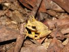 Whirring Tree Frog, Litoria revelata