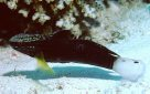 An unusually coloured 'dark phase' Whitebarred Goby