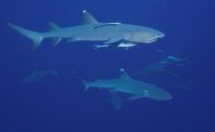 Whitetip Reef Sharks at North Horn