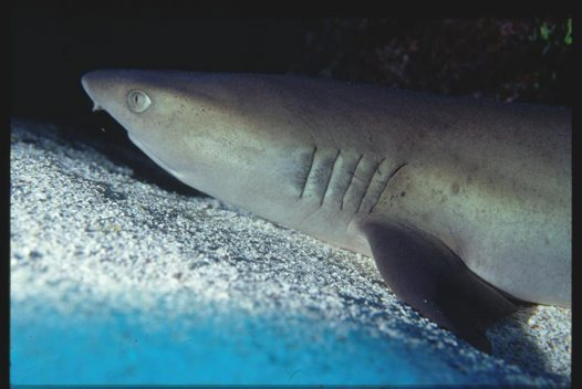 A Whitetip Reef Shark at south-east Horn
