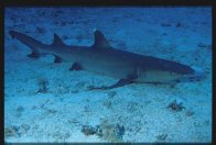 A Whitetip Reef Shark at Osprey Reef