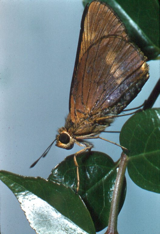 Adult Orange Palm Dart
