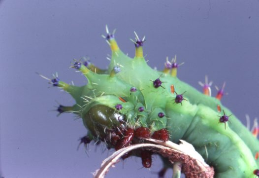 Head of emperor gum moth caterpillar