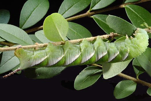 Privet Hawk Moth caterpillar