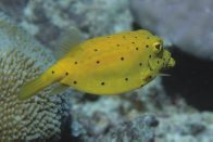 A Yellow Boxfish at 'Davies Reef'