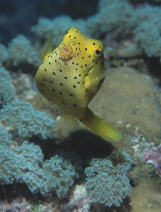 Yellow Boxfish at 'Davies Reef'