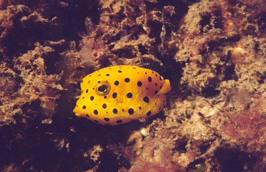 Yellow Boxfish juvenile at Fly Point