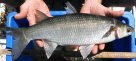 A Yelloweye Mullet caught in Wyong River