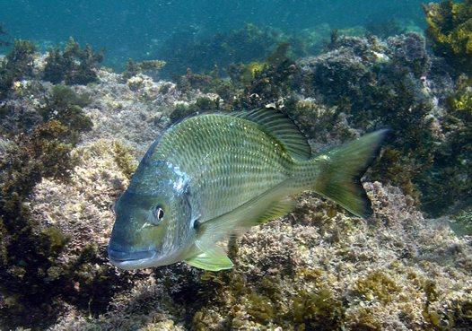 Yellowfin Bream fish
