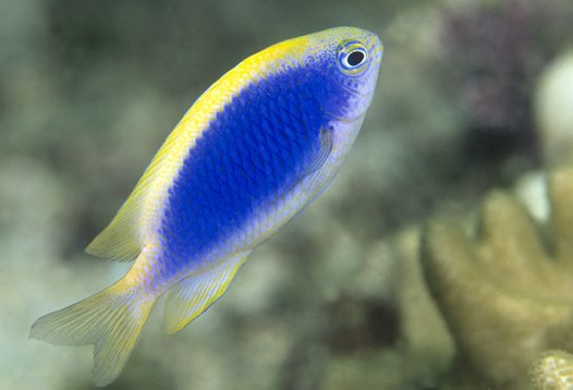 A Yellowfin Damsel at North West Solitary Island