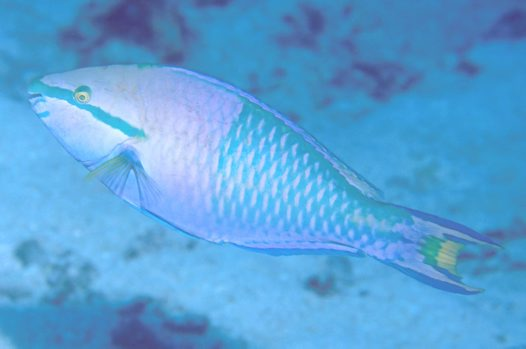 Yellowfin Parrotfish, Scarus flavipectoralis