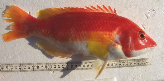 A Yellowfin Pigfish caught off Norah Head