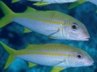 Goldstripe Goatfish at 'Temple of Doom'