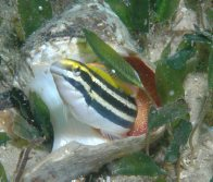 Yellow Sabretooth Blenny guarding its eggs