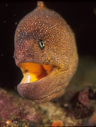 Yellowmouth Moray at North Solitary Island