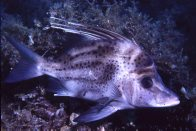 Yellowspotted Boarfish at Wirrina Reef
