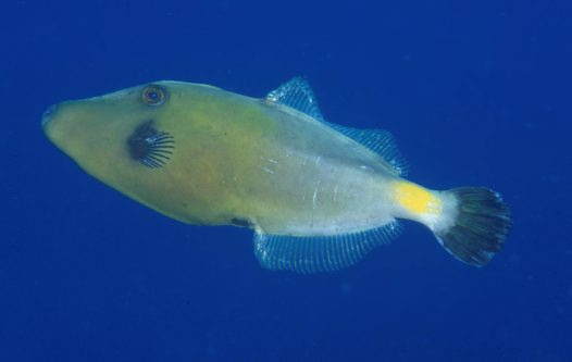 A male Yellowstriped Leatherjacket at Pebbly Beach