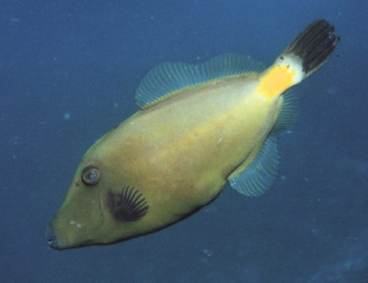 A Yellowstriped Leatherjacket at 'Hanging Rock'
