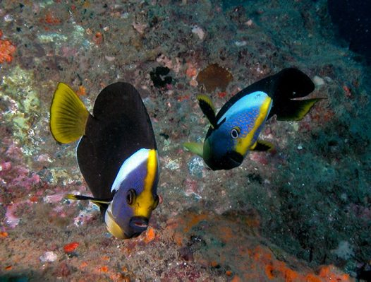 Queensland Yellowtail Angelfish at Wolf Rock