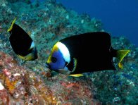 Two Queensland Yellowtail Angelfish at Wolf Rock