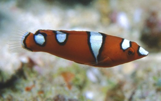 Juvenile Clown Wrasse at Joan Reef