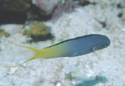 A Yellowtail Fang Blenny at Captains table
