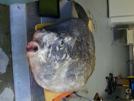Hoodwinker Sunfish at Taronga Zoo