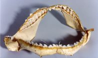 A set of Tiger Shark jaws
