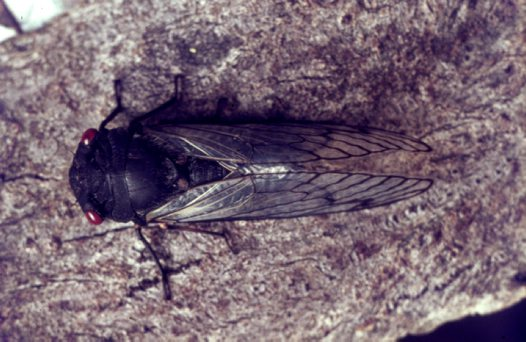 Above a Red Eye Cicada