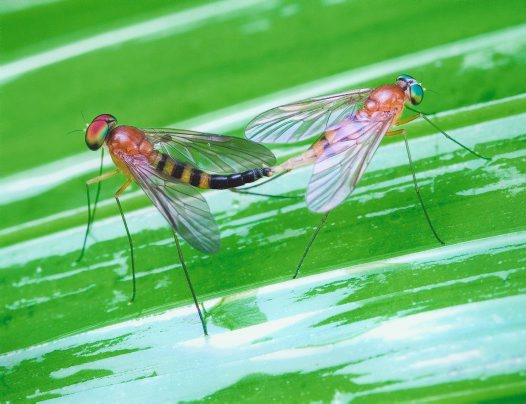 Stilt flies mating- Michael Williams