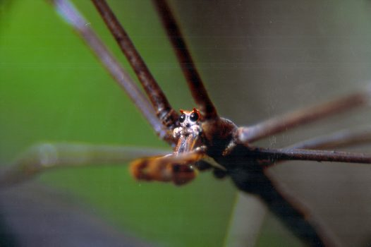Portrait of a Net-casting Spider