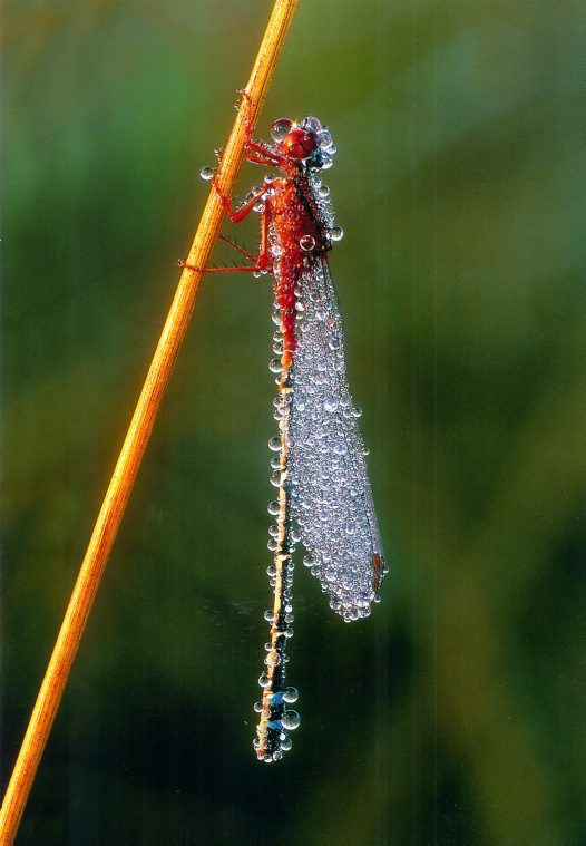 Red Damselfly - Helmut Berndt