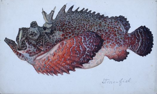 Stonefish illustration