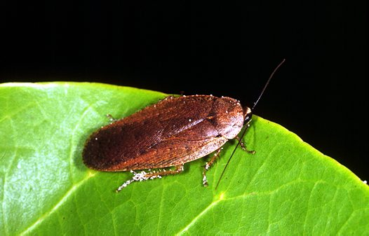Native Bush Cockroach Calolampra sp