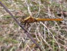 Female Fiery Skimmer Dragonfly