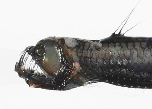 Head of a Sloane's Viperfish trawled off Norfolk Island