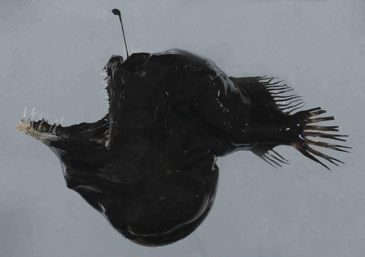 A Humpback Blackdevil with mouth extended