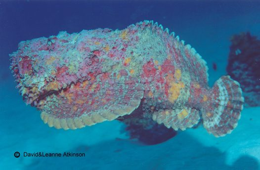 A Reef Stonefish swimming at Mana Island
