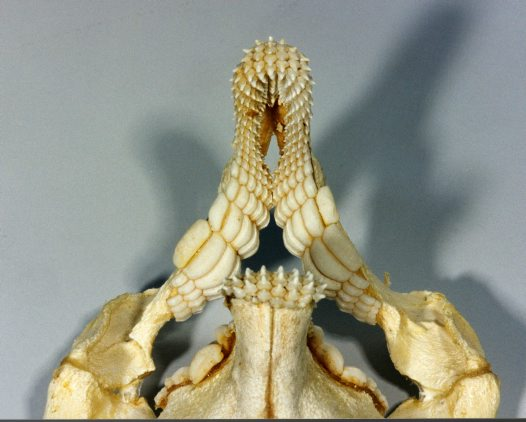 Teeth and jaw of Port Jackson Shark.
