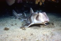 A Port Jackson Shark at Shark Point.