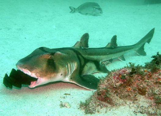 Port Jackson Shark with an egg case in its mouth
