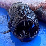 A Fangtooth trawled off Norfolk Island