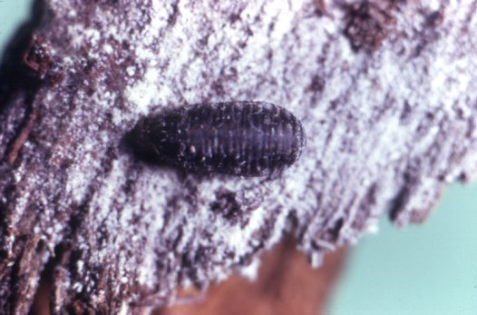 Hover fly pupa