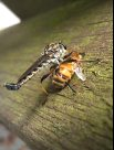 Robber fly with captured bee