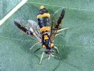 Sawflies, ants, bees and wasps