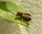 Asian Paper Wasp, Polistes chinensis