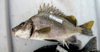 A Silver Grunter caught at Mulgrave River