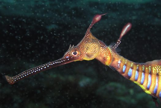 Head of a Common Seadragon