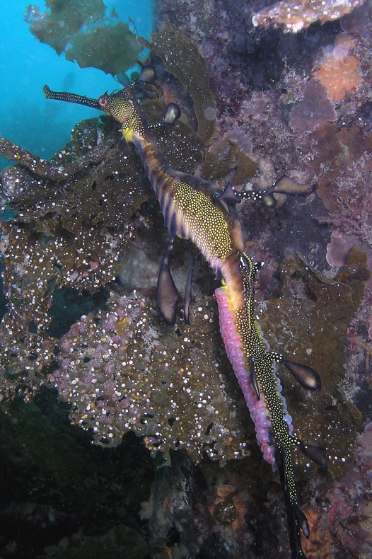 Common Seadragon with eggs at Portsea Pier